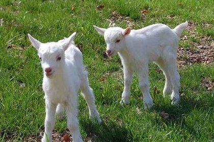 3 ineğe eşdeğer süt veren keçi