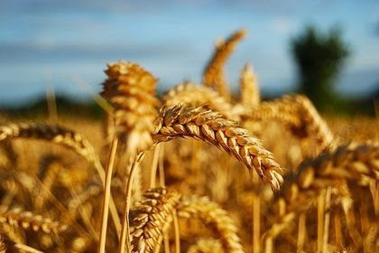 Düşen buğday rekoltesine Rusya dopingi - Buğday rekoltesi kuraklığın etkisiyle 16 milyon ton seviyelerine gerilerken ABD ve Avrupa'dan yapılan buğday ithalatının rotası Rusya'ya çevrildi. En az 2 ay süren nakliye 10 güne düşünce spekülasyonun önü kesildi, ekmek fiyatlar artmadı.