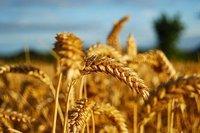 Düşen buğday rekoltesine Rusya dopingi