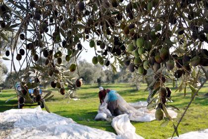 Analiz: Türkiye'nin zeytinliklerle imtihanı - Türkiye, stratejik öneme sahip zeytinliklerini korumak için önemli bir sınav veriyor. Sektör temsilcileri, Yırca Köyü'nde yaşanan gelişmeler ve Meclis'te bekleyen zeytinliklere yönelik tasarıdan rahatsız