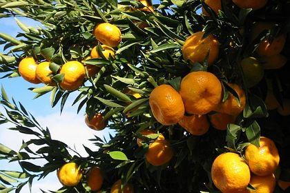 Analiz: 50 bin ton mandalina risk altında