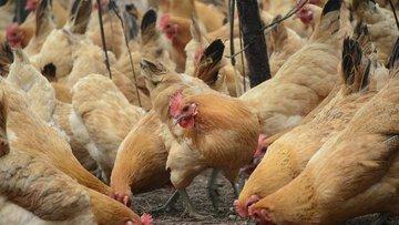 312 bin ton kanatlı et ihracatı gerçekleşti