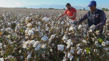 Türkiye GDO'suz yerli pamuk veriminde zirvede