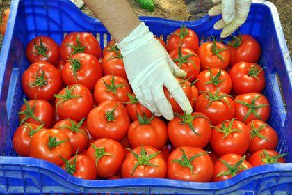 İhracatçılar Rusya'nın domates kararını kabul e...