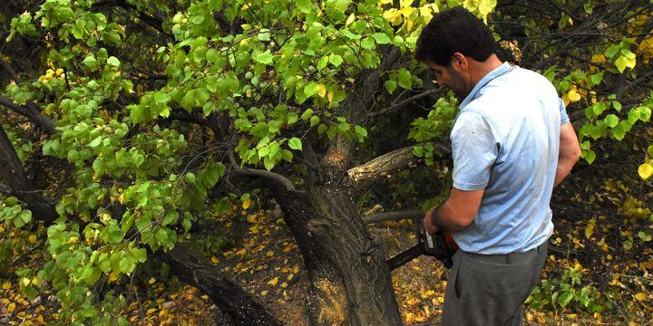 Malatya kayısısı para etmeyince ağaçları kestiler