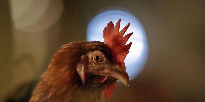 Tavuk eti ve yumurta üretiminde rekora doğru