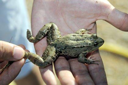 Çukurova'nın kurbağasına Avrupa'dan rağbet var