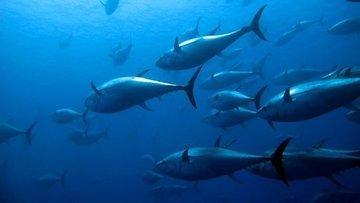Akdeniz'de orkinos avlanma kotası yüzde 40 arttı