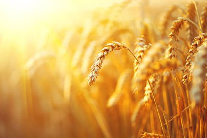 Türkiye'de buğday ekim alanı 7.7 milyon hektara...