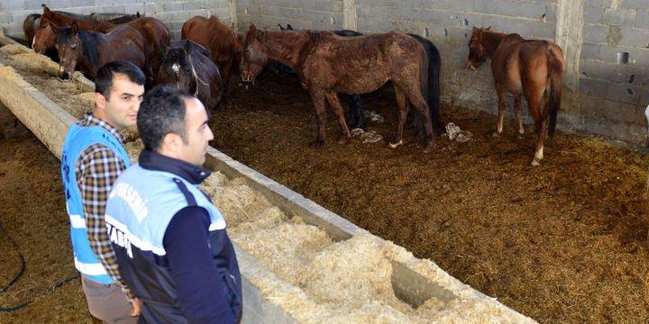 Kesime hazırlanan 50 at ve eşek ele geçirildi
