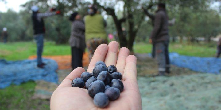 Bilinçli hasat, rekolteyi arttırdı