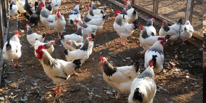 Üniversitede organik yumurta ve piliç üretimi