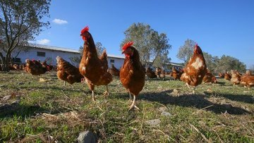 """Fransa """"gezen tavuk"""" yumurtacılığına geçecek"""