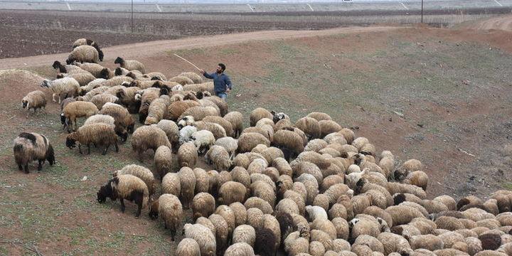 """""""300 koyun projesi""""nde başvurular yarın sona erecek"""