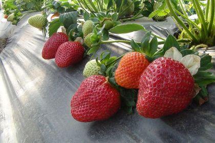 Mersin'in Silifke ilçesinde çilekte ihracat baş...