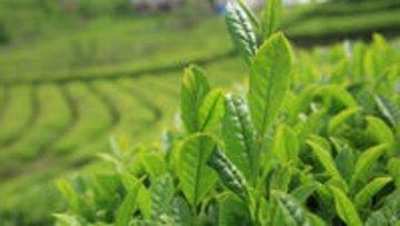 Çay ihracatı arttı