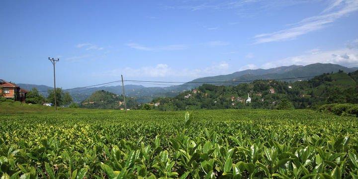 Yaş çayda 164,5 milyon lira destekleme ödemesi yapılacak