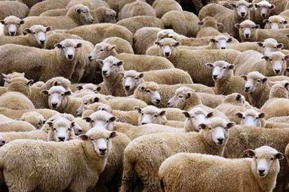 300 koyun projesinin ön değerlendirme sonuçları...