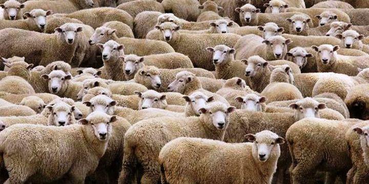 300 koyun projesinin ön değerlendirme sonuçları açıklandı