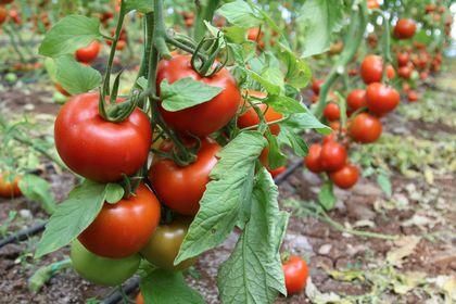 Rusya'nın domates üretimi artıyor