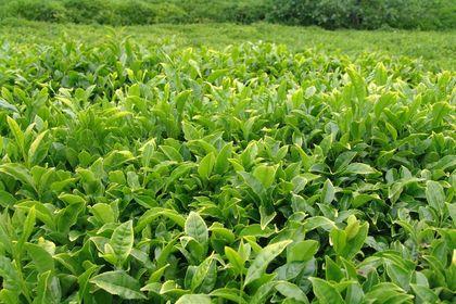 ÇAYKUR ikinci sürgün yaş çay alımlarına başladı